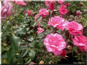 roses-du-palmengarten