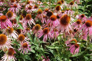 1024px-2007_echinacea_purpurea