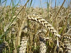 240px-Wheat_close-up